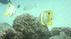 Beaked coralfish feeding, Chelmon rostratus, HD, UP19589 Stock Footage