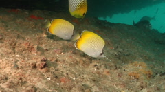 Crochet butterflyfish feeding, Chaetodon guentheri, HD, UP19600 Stock Footage