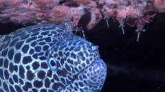 Laced moray cleaning and being cleaned on cleaning station, Gymnothorax Stock Footage