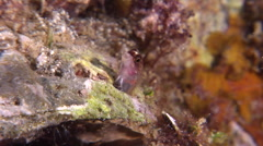 Multispotted blenny looking around, Laiphognathus multimaculatus, HD, UP29445 Stock Footage