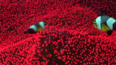 Adults and juveniles Panda clownfish swimming, Amphiprion polymnus, HD, UP29636 Stock Footage