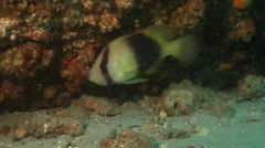 Barred soapfish swimming, Diploprion bifasciatum, HD, UP19608 Stock Footage