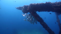 Diamondfish hiding and schooling on wreckage, Monodactylus argenteus, HD, Stock Footage