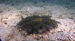 Nosestripe sandperch on sand and coral rubble, Parapercis lineopunctata, HD, Stock Footage