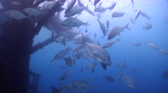 Longnose trevally swimming and schooling on wreckage, Carangoides chrysophrys, Stock Footage