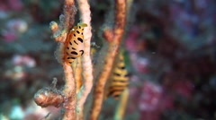 Tiger cowrie feeding, Cuspivolva tigris, HD, UP29795 Stock Footage