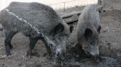 Boar drinking water Stock Footage