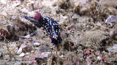Yellow spot dark blue slug walking, Hypselodoris obscura, HD, UP29030 Stock Footage