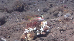 Pale-barred coris hunting on black sand slope and muck, Coris dorsomacula, HD, Stock Footage