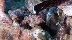 White-capped swallowtail slug walking, Chelidonura inornata, HD, UP29251 Stock Footage