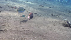 Cinnabar goatfish hunting on black sand slope and muck, Parupeneus heptacanthus, Stock Footage