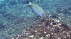 Lined surgeonfish feeding on shallow coral reef, Acanthurus lineatus, HD, Stock Footage