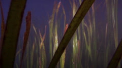 Bulbsnout blenny swimming on seagrass meadow at dusk, Petroscirtes thepassi, HD, Stock Footage