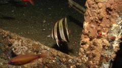 Truncate coralfish swimming on wreckage, Chelmonops truncatus, HD, UP19660 Stock Footage