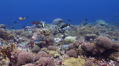 Clown triggerfish swimming on shallow coral reef, Balistoides conspicillum, HD, Stock Footage