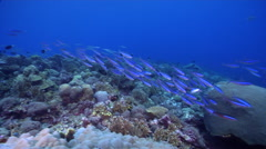 Bluestreak fusilier swimming and schooling on shallow coral reef, Pterocaesio Stock Footage