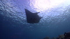 Reef manta ray swimming on very shallow reef and surface, Manta alfredi, HD, Stock Footage