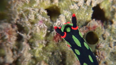 Dusky green spot orange gill black slug walking, Nembrotha kubaryana, HD, Stock Footage