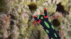 Dusky green spot orange gill black slug walking, Nembrotha kubaryana, HD, Stock Footage