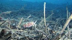 Broadclub cuttlefish hovering on muck, Sepia latimanus, HD, UP29411 Stock Footage