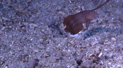 Juvenile Peacock razorfish swimming on sand, Iniistius pavo, HD, UP29355 Stock Footage