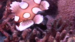 Juvenile Many spotted sweetlips feeding on hard coral microhabitat, Stock Footage