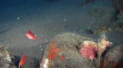 Swallowtail hawkfish swimming on black sand slope and muck, Cyprinocirrhites Stock Footage