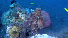 Common reef octopus breathing on black sand slope and muck, Octopus cyanea, HD, Stock Footage