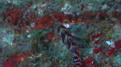Spotted hawkfish swimming on wreckage, Cirrhitichthys aprinus, HD, UP29022 Stock Footage