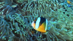 Clark's anemonefish swimming, Amphiprion clarkii, HD, UP29854 Stock Footage
