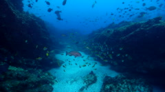 Eastern pomfred swimming and schooling on deep coral reef, Schuettea Stock Footage