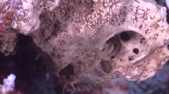 Juvenile Many spotted sweetlips swimming, Plectorhinchus chaetodonoides, HD, Stock Footage