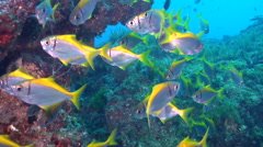 Eastern pomfred swimming and schooling, Schuettea scalaripinnis, HD, UP19710 Stock Footage