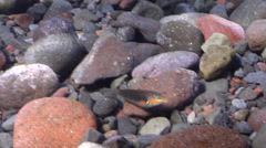 Cheekring wrasse swimming on rocky shallows, Halichoeres miniatus, HD, UP29970 Stock Footage