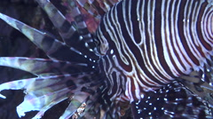 Common lionfish swimming, Pterois volitans, HD, UP29596 Stock Footage