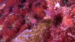 Headspot dwarfgoby hunting on hard coral microhabitat, Eviota melasma, HD, Stock Footage