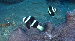 Clark's anemonefish swimming on black sand slope and muck, Amphiprion clarkii, Stock Footage