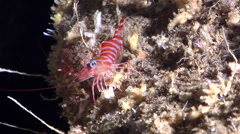 Striped reef shrimp walking in cavern, Cinetorhynchus striatus, HD, UP29155 Stock Footage