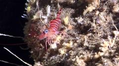 Striped reef shrimp walking in cavern, Cinetorhynchus striatus, HD, UP29155 Stock Footage
