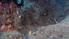 Juvenile Areolate grouper housekeeping on black sand slope and muck, Epinephelus Stock Footage