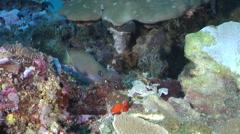 Reid's damsel swimming, Pomacentrus reidi, HD, UP29130 Stock Footage