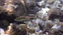 Nebulous wrasse swimming on black sand slope and muck, Halichoeres nebulosus, Stock Footage