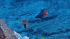 Papuan toby courting, Canthigaster papua, HD, UP29615 Stock Footage