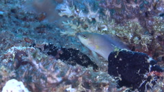 Unidentified grey and yellow dottyback swimming on hard coral microhabitat, Stock Footage