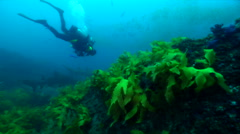 Grey nurse shark swimming on rocky reef covered in seaweed and kelp, Carcharias - stock footage