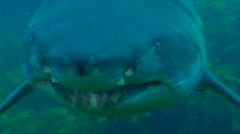 Grey nurse shark swimming on rocky reef covered in seaweed and kelp, Carcharias Stock Footage