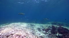 Brown surgeonfish swimming on cleaning station, Acanthurus nigrofuscus, HD, Stock Footage