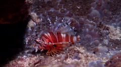 Zebra lionfish at night, Dendrochirus zebra, HD, UP19789 Stock Footage