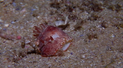 Reticulated red slug walking at night, Chromodoris cf. Reticulata, HD, UP19792 Stock Footage