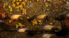 Black-tipped bullseye swimming and schooling, Pempheris affinis, HD, UP19809 Stock Footage